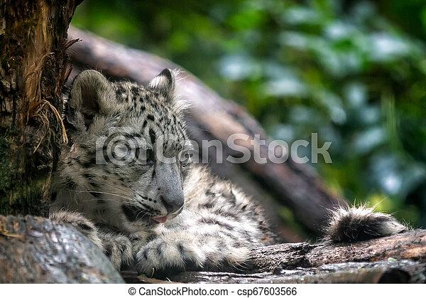 Portrait of Snow leopard cub, Panthera uncia - csp67603566