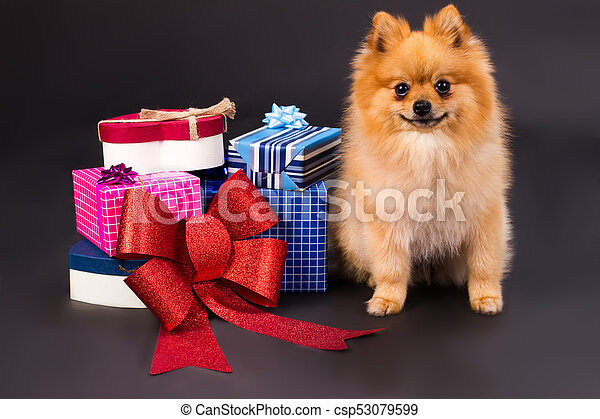 Portrait of spitz with gift boxes. - csp53079599