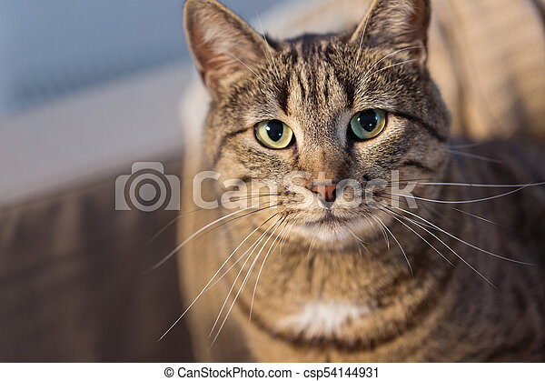 portrait of tabby cat at home - csp54144931