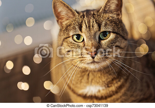 portrait of tabby cat at home - csp73041139
