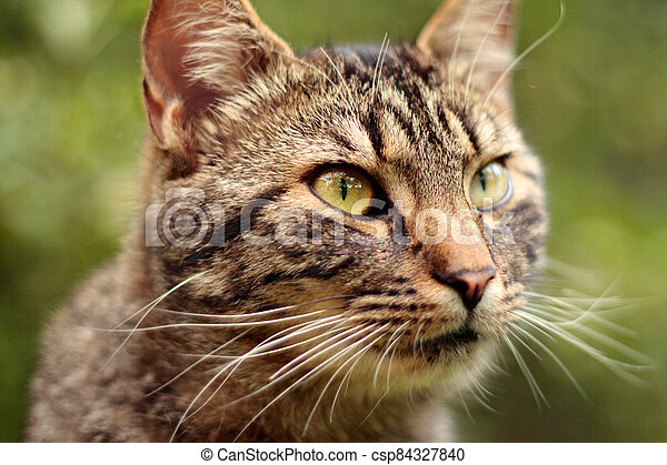 Portrait of tabby cat, detail of cat head - csp84327840