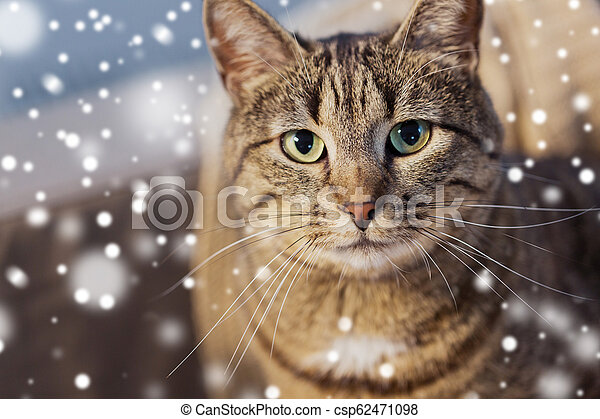 portrait of tabby cat in winter over snow - csp62471098