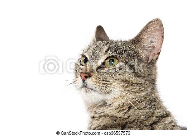 Portrait of tabby cat - csp36537573