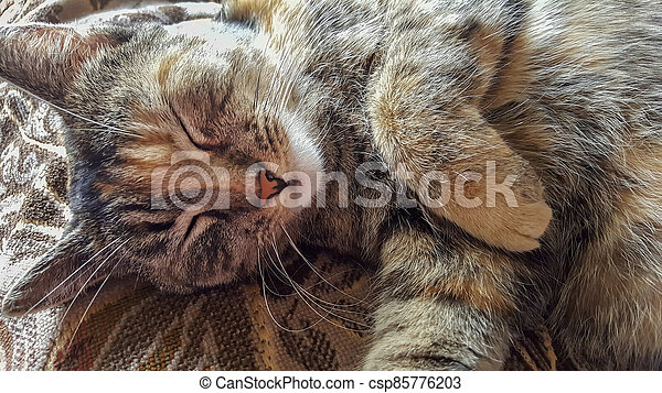 Portrait of tabby cat sleeping, close-up. - csp85776203
