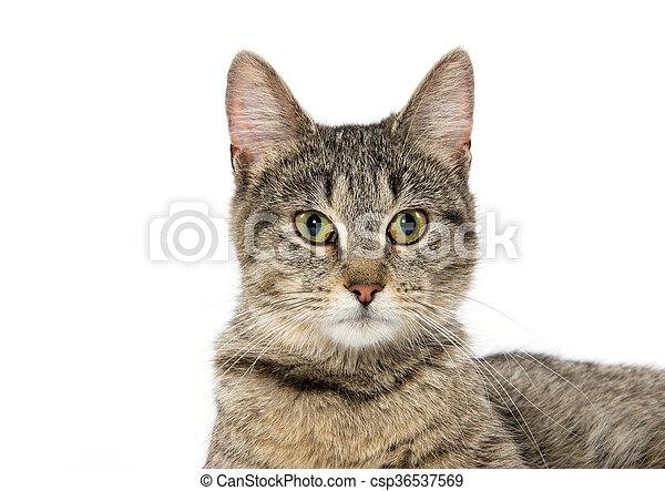 Portrait of tabby cat - csp36537569