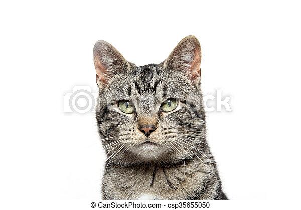 portrait of tabby cat - csp35655050