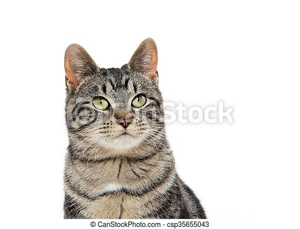 portrait of tabby cat - csp35655043