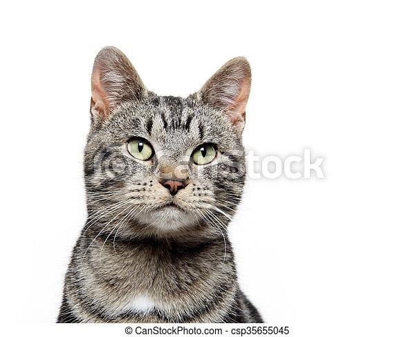 portrait of tabby cat - csp35655045