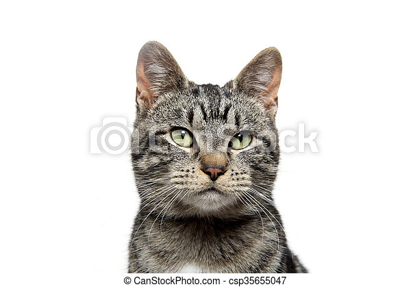portrait of tabby cat - csp35655047