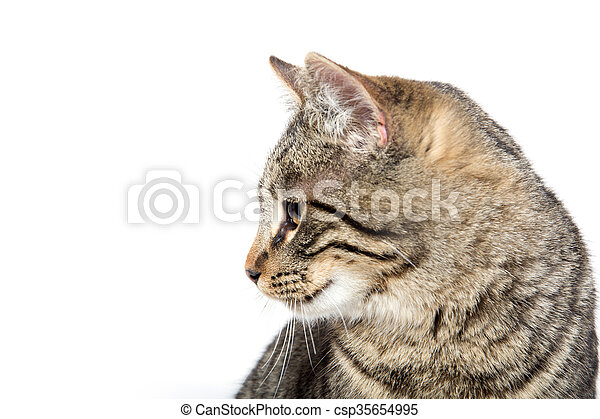 Portrait of tabby cat - csp35654995