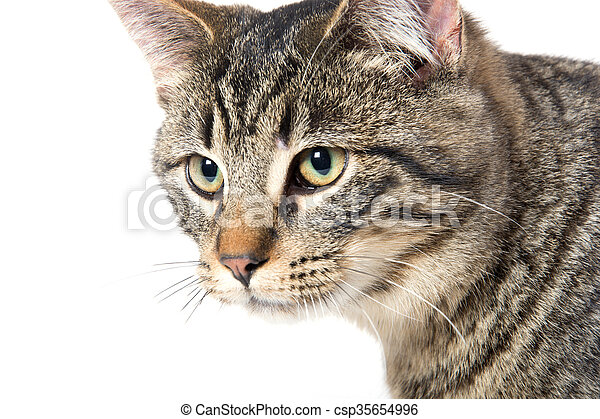 Portrait of tabby cat - csp35654996