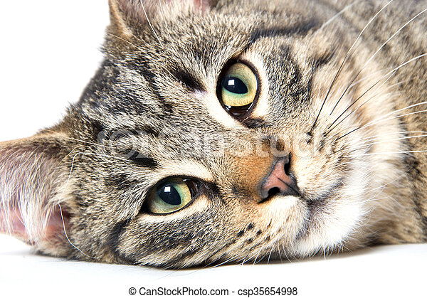 Portrait of tabby cat - csp35654998