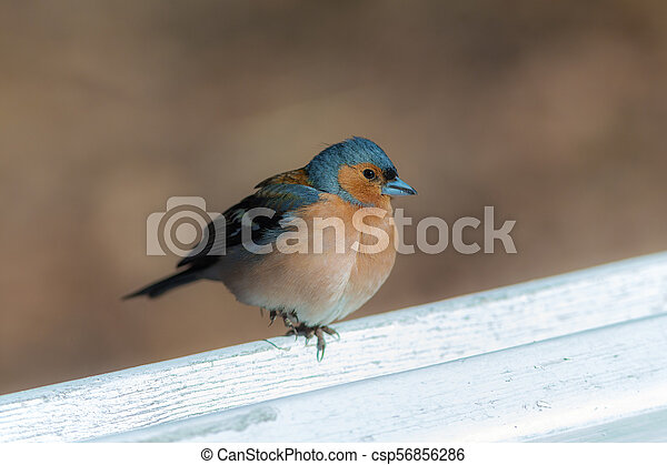 portrait of the chaffinch - csp56856286