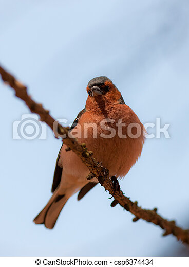 Portrait of the chaffinch - csp6374434