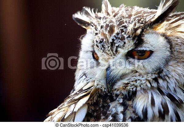 Portrait of The Eurasian Eagle Owl (Bubo bubo) - csp41039536