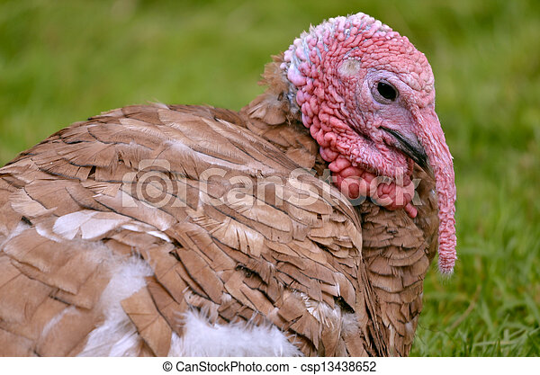 Portrait of turkey - csp13438652