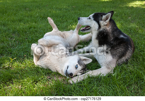 Portrait of  two dogs - Siberian Husky - csp27176129