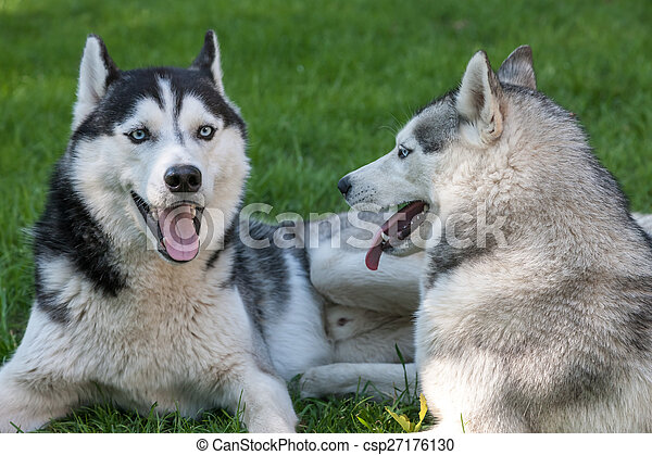 Portrait of  two dogs - Siberian Husky - csp27176130