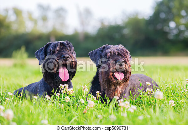 Portrait of two schnauzer dogs outdoors - csp50907311