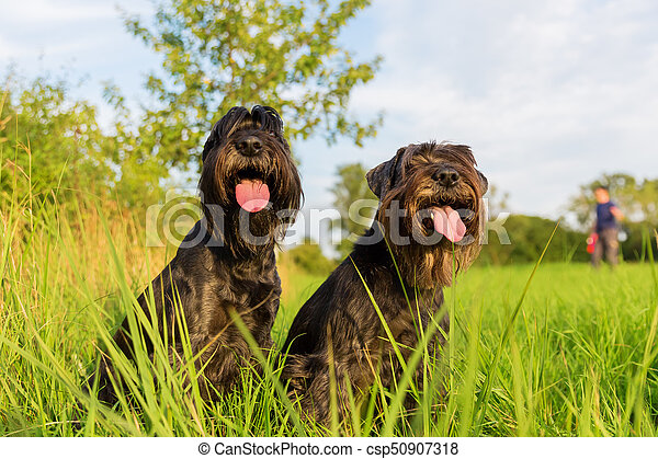 Portrait of two schnauzer dogs outdoors - csp50907318