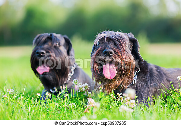 Portrait of two schnauzer dogs outdoors - csp50907285