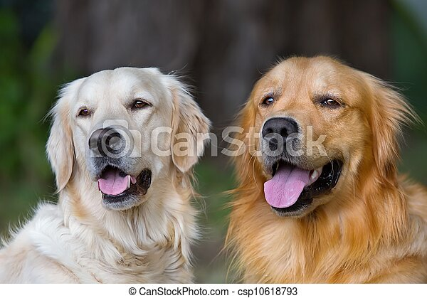 Portrait of two young beauty dogs  - csp10618793