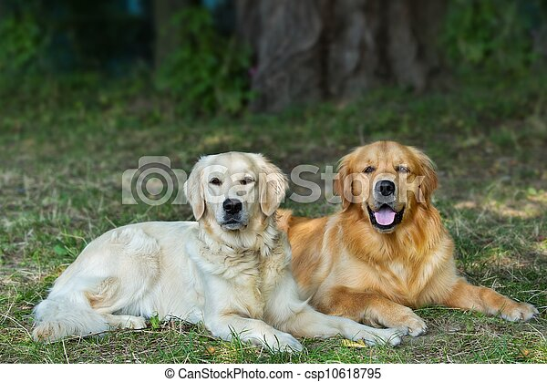 Portrait of two young beauty dogs  - csp10618795
