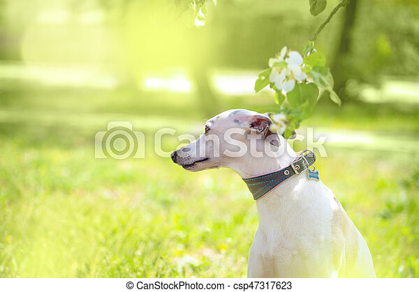 Portrait of white little dog in spring blossom - csp47317623