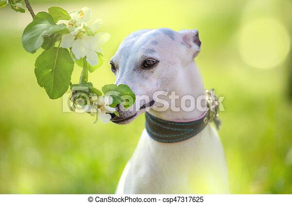 Portrait of white little dog in spring blossom - csp47317625