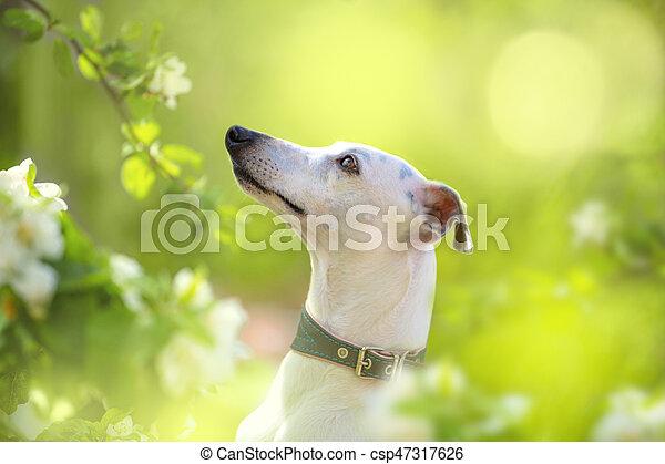 Portrait of white little dog in spring blossom - csp47317626
