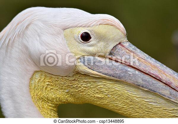 Portrait of white pelican - csp13448895