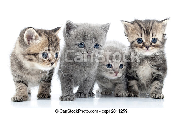 Portrait of young cats' group  . Studio shot. Isolated. - csp12811259