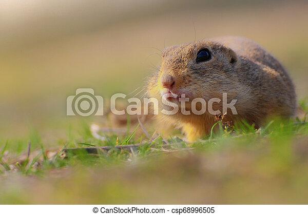 Portrait rodent in grass - csp68996505