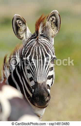 portrait, zebra, commun - csp14813480