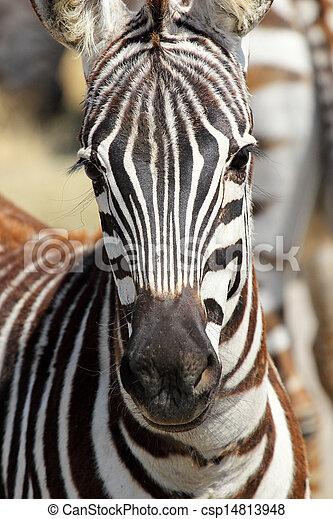portrait, zebra, commun - csp14813948