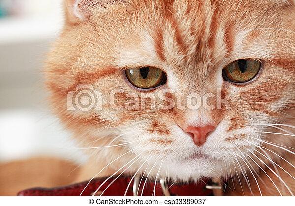Portret Rudy Kot Krajowy Rudy Kot Closeup Portrait Kołnierz
