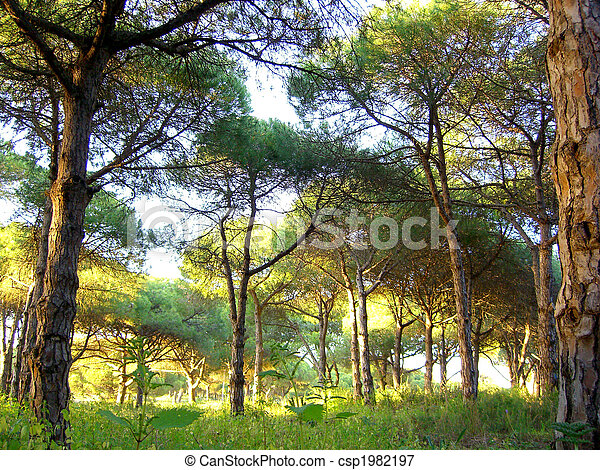 Portuguese pine tree forest - csp1982197