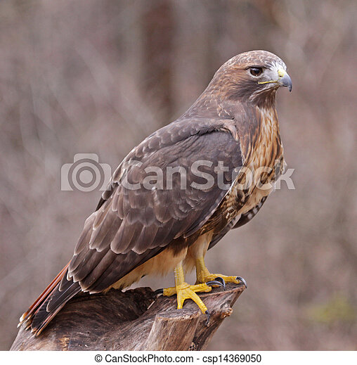 Posed Red-tailed Hawk - csp14369050
