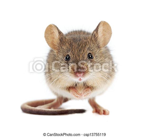 Un ratón de casa parado (Mus musculus) - csp13755119