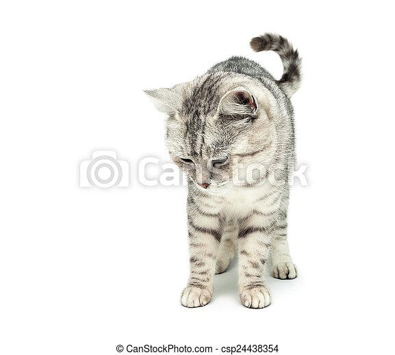Gato esponjoso de pie aislado en el fondo blanco - csp24438354