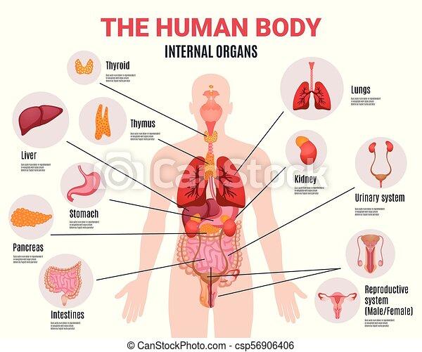 poster, infographic, organen, intern, menselijk. lichaam, plat