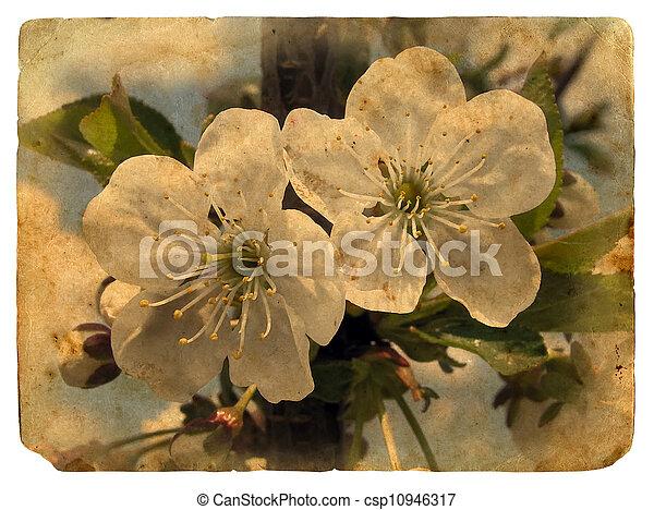 postkaart, kers, oud, blossoms., weinig - csp10946317