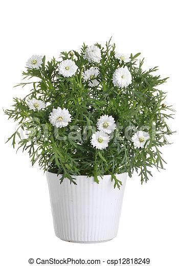 pot, bloem, wit madeliefje - csp12818249