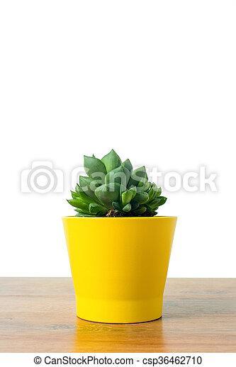 pot, haworthia, jaune - csp36462710
