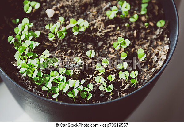 pot of small basil seedlings and leaves by the window - csp73319557