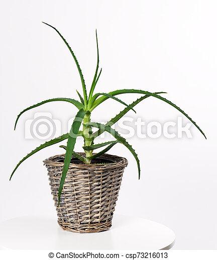 pot with aloe vera plant - csp73216013