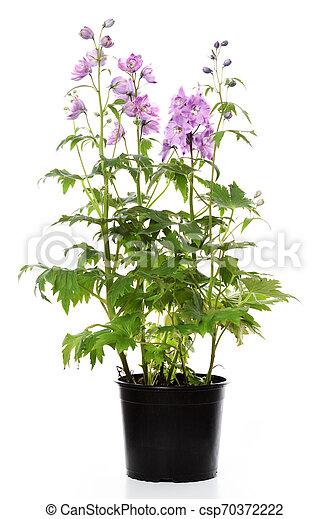 pot with delphinium plant - csp70372222