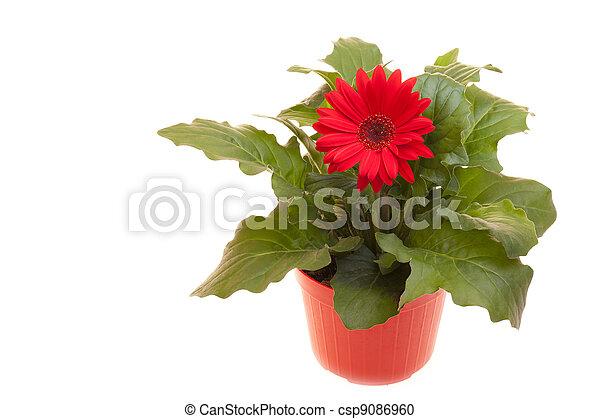 Pot With Gerbera On White - csp9086960