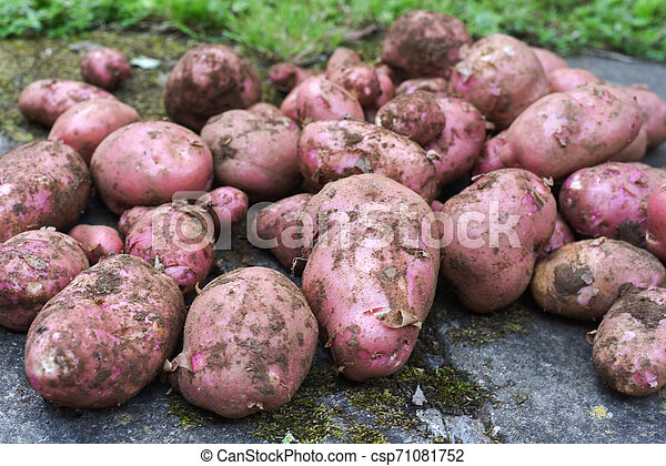 Potato crop freshly picked orgnic potatoes from home grown vegetable patch - csp71081752