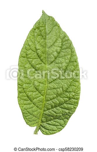 potato foliage on white background - csp58230209